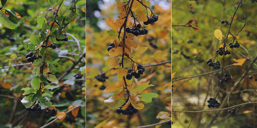 Один октябрь из жизни Куста Черноплодки. Блог Любови Алазанкиной.